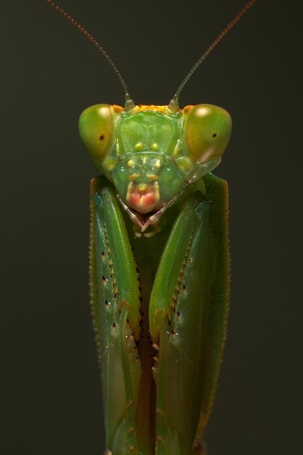 New Zealand Shield Mantis