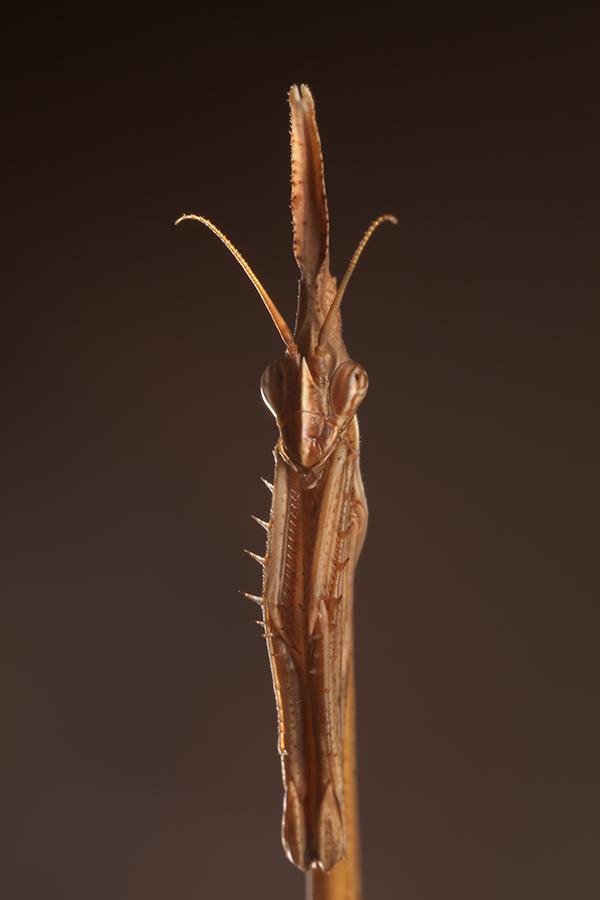 Cone-Head Mantis