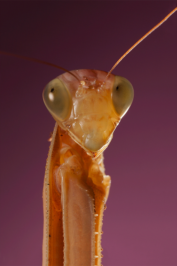 European Mantis
