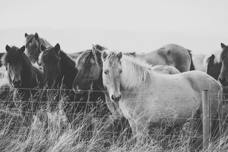 iceland,+travel+photography,+jennifer+picard+photography,+icelandic+horses-2.jpeg