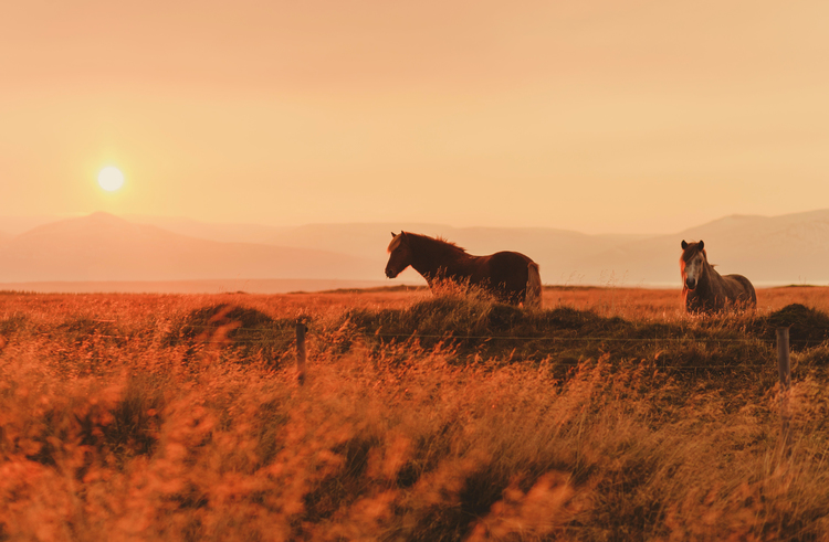 iceland,+travel+photography,+jennifer+picard+photography,+icelandic+horses-1.jpeg