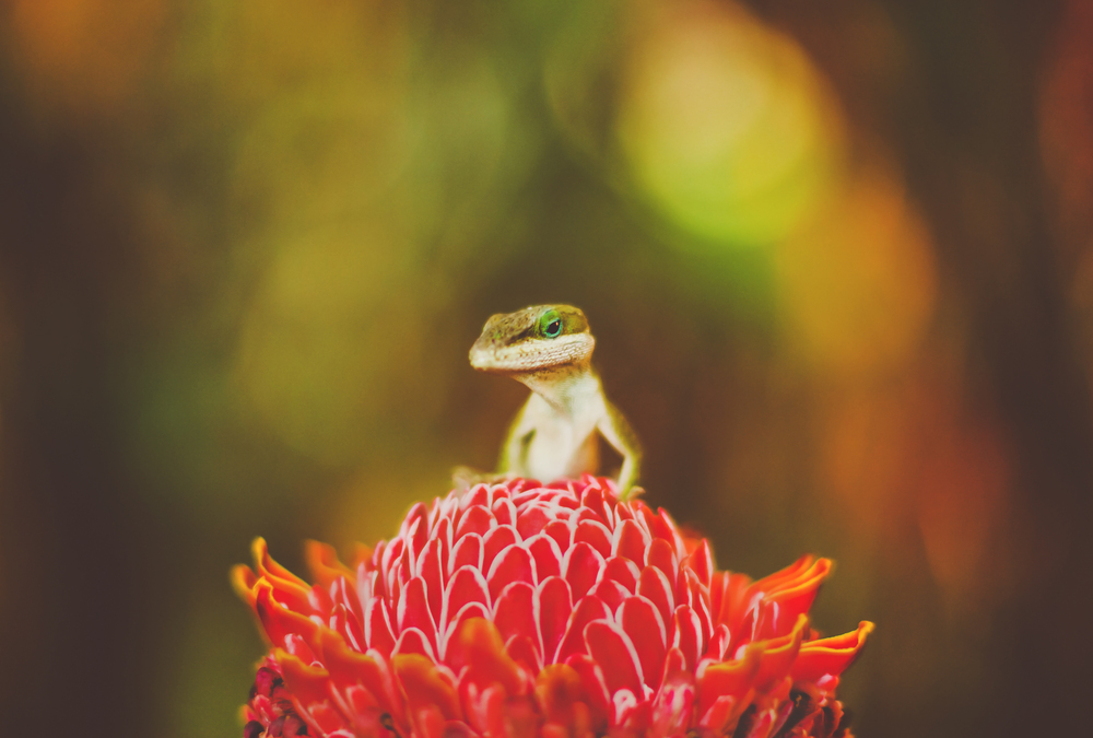 IMG_0359-GECKO-HAWAII-JENNIFER-PICARD-PHOTOGRAPHY-WEB.jpg
