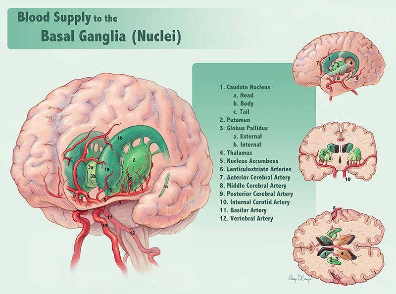Blood Supply to the Basal Ganglia (Nuclei)