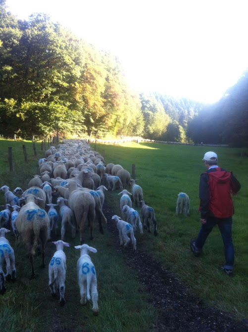 follow the sheep.JPG