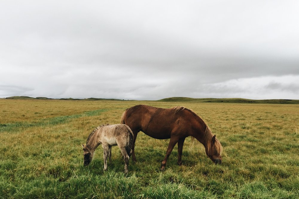 Copy of Mare and foal, Southeast Iceland