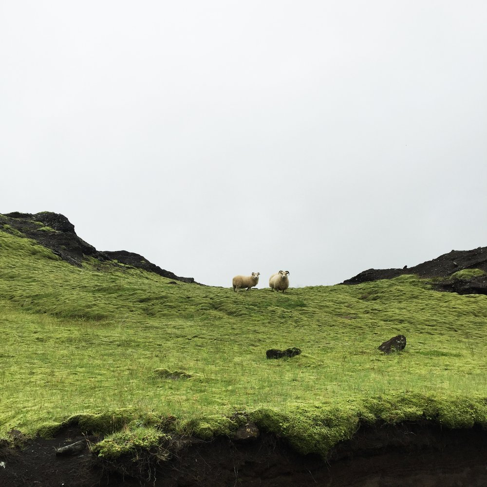 Icelandic Sheep, South Iceland