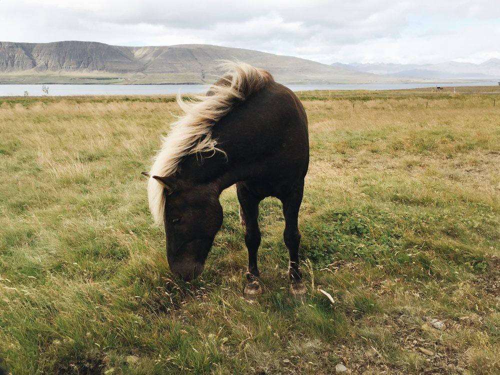 Copy of Shy Horse, Hvalfjörður