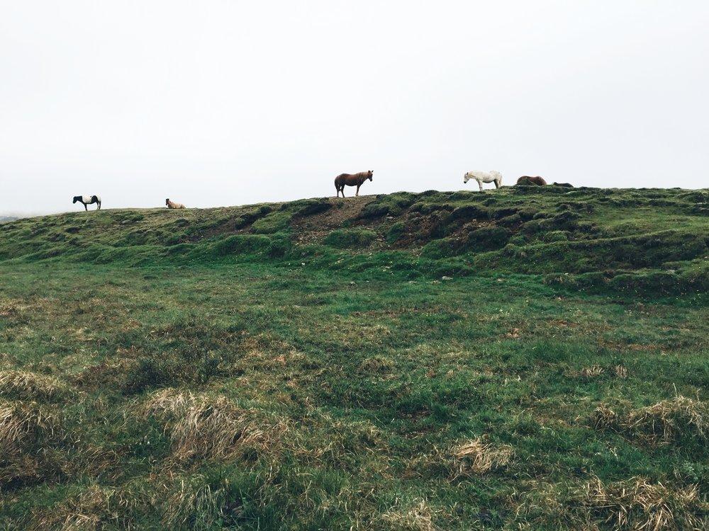 Copy of Icelandic horses, Snaelfessness Peninsula