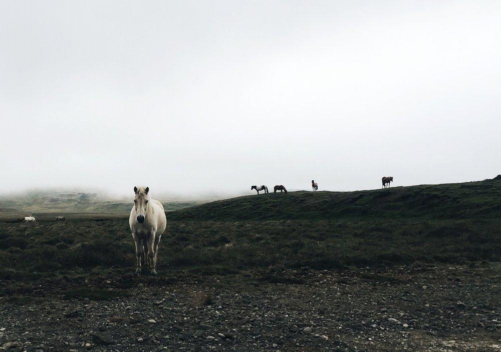 Icelandic horses, Snaelfessness Peninsula