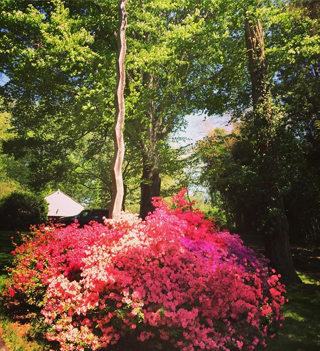 My #azaleas are loving the Virginia #spring. They provide a stunning base for my Cedar Spire.