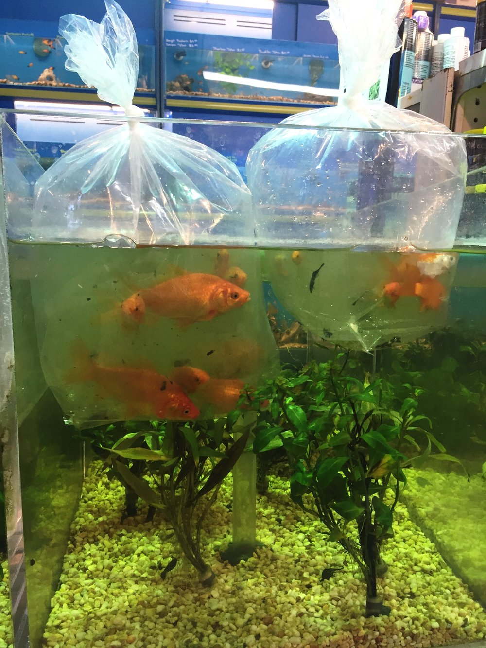 Goldfish being introduced to their new aquarium home.