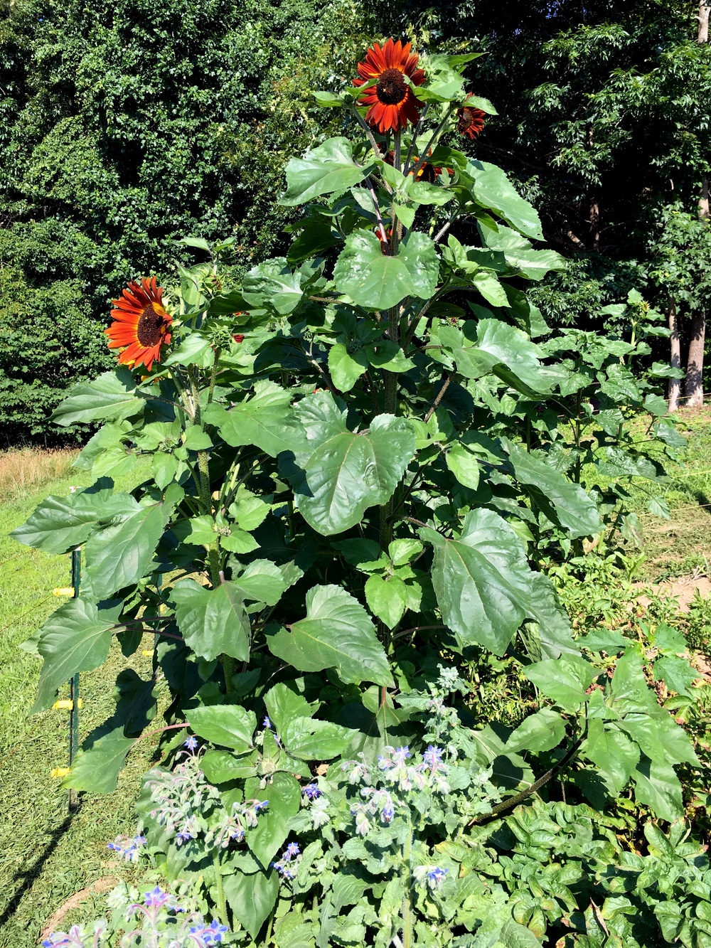 The sunflowers (Velvet Queen) are over seven feet high.That's borage below. The bees love and so do we; it's edible.
