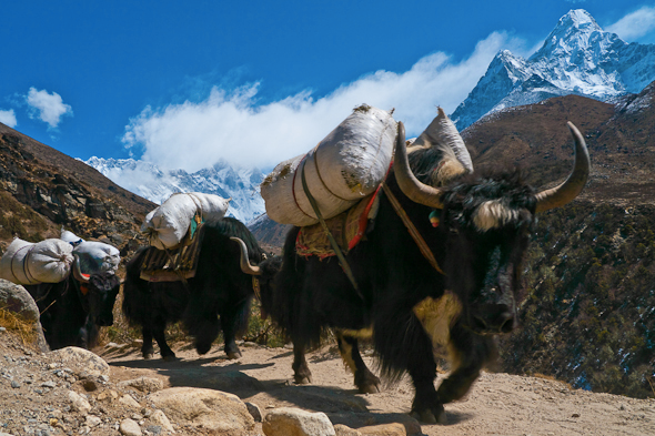 Yak train in the Himalayas –  image  via  The Planet D