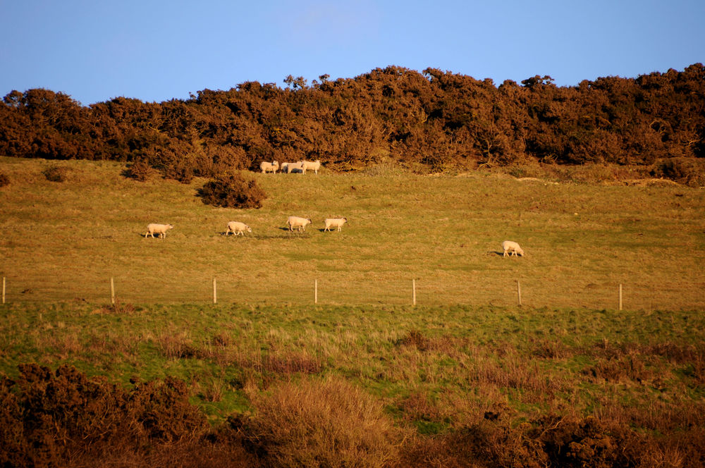 Sheep on the Isle of Purbeck golden light 1