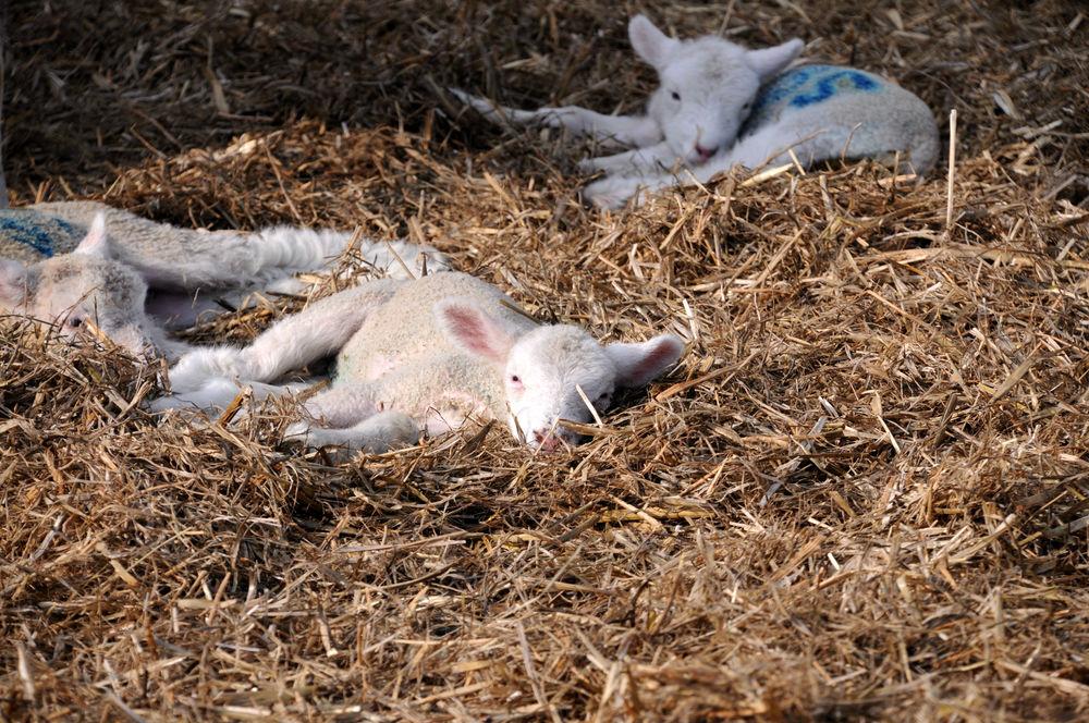 Lambs basking in the sun