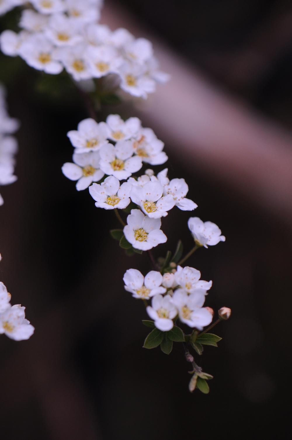 Awakening- blossom