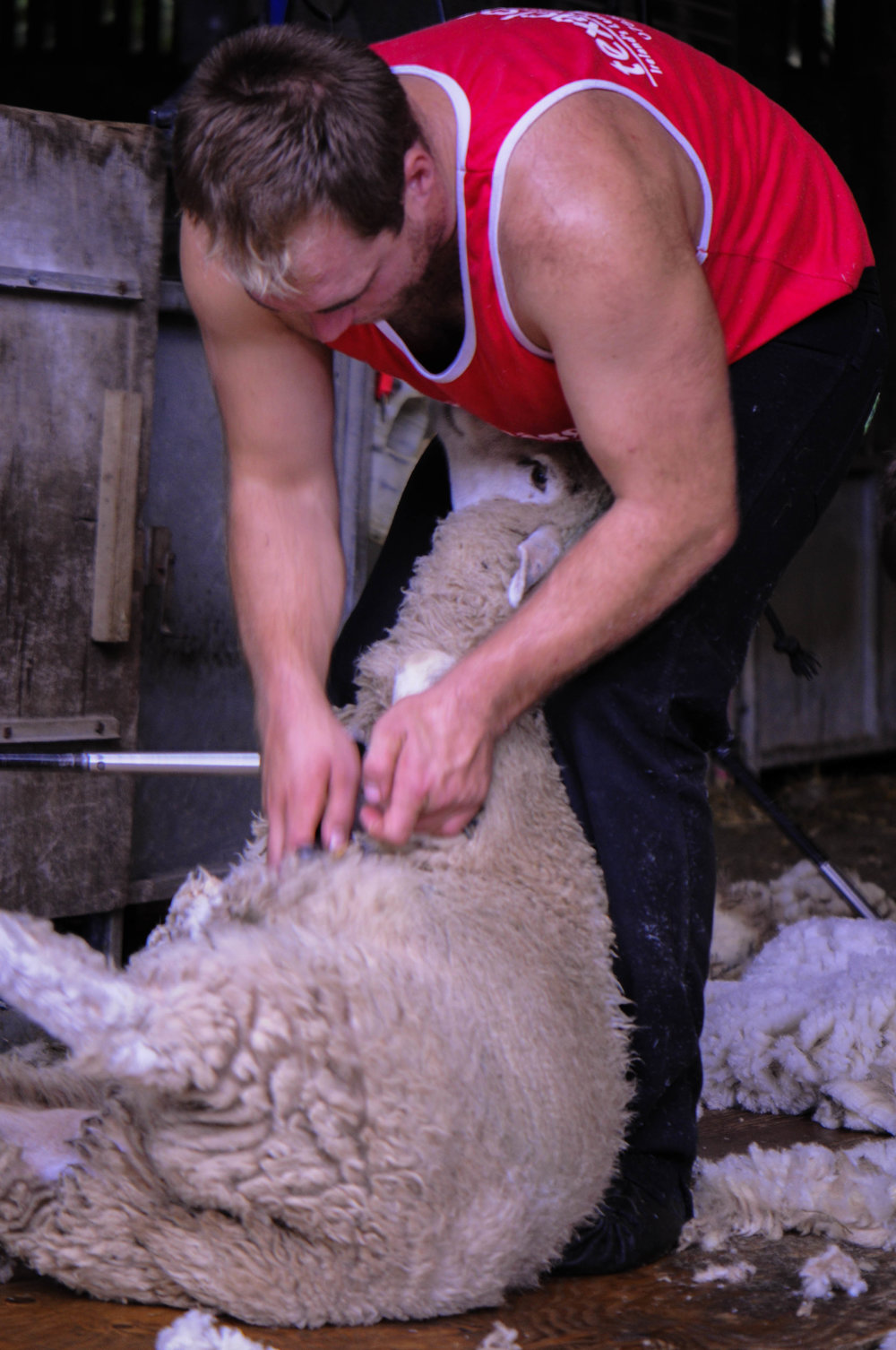 Shearing a sheep