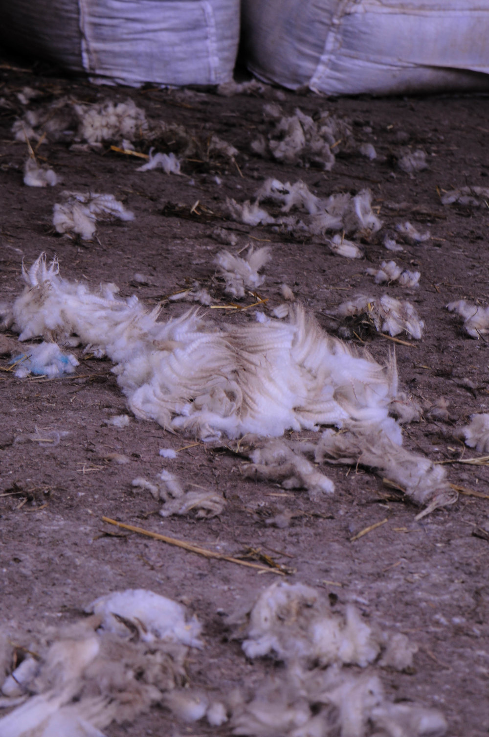 raw sheep's fleece on floor