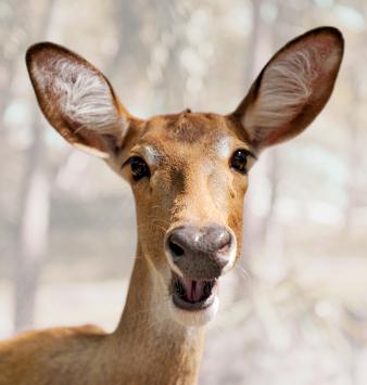 iStock_000012701878XSmall deer