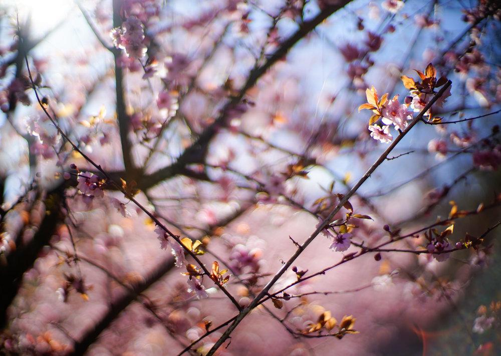 SpringPlumBlossoms2-2.jpg