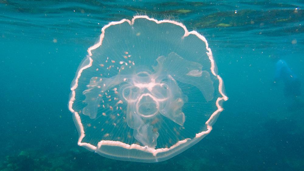 jellyfish reedits colombia 2016 underwater snorkeling amiablle jenny miller-315.jpg