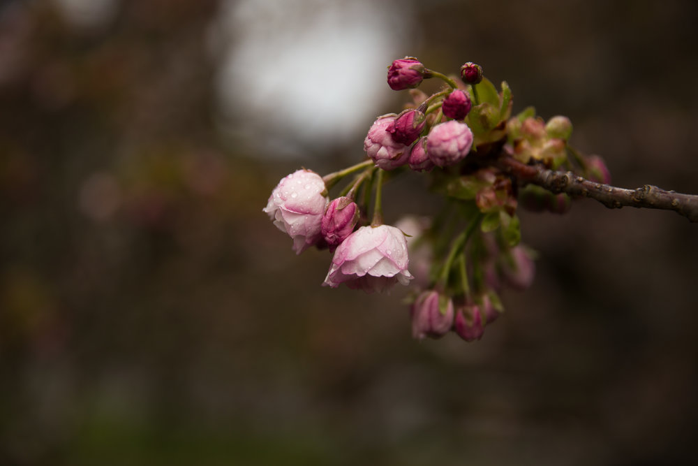 4 april 12th 2018 point defiance flowers flowering trees 5 stars-7.jpg