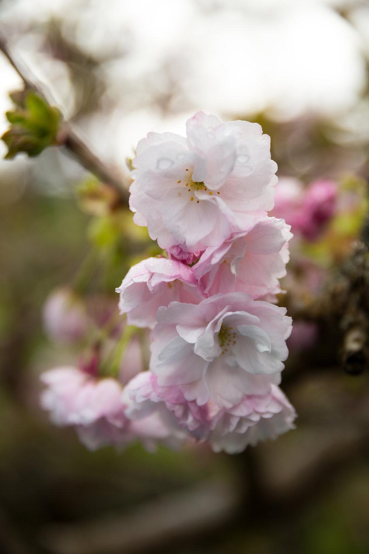 4 april 12th 2018 point defiance flowers flowering trees 5 stars-22.jpg