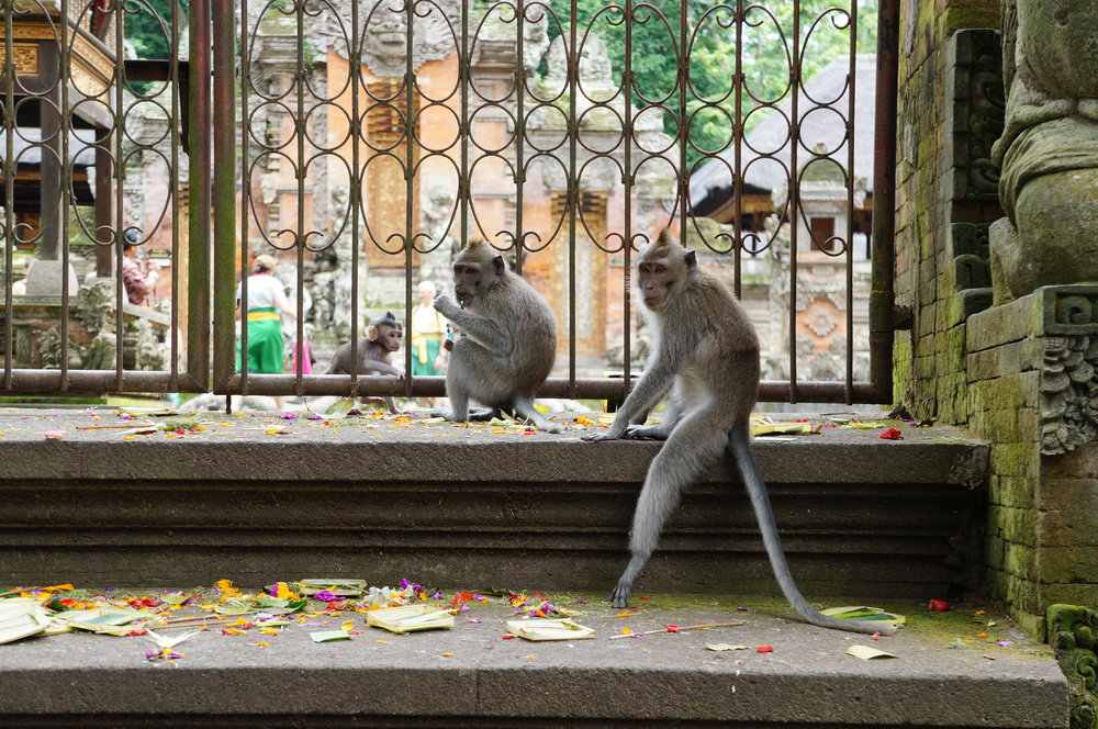 Don't let these cute faces fool you! The long-tailed macaques pop out of nowhere in Ubud and can be pretty vicious. Hide yo kids, hide yo wife, hide yo husband!!!