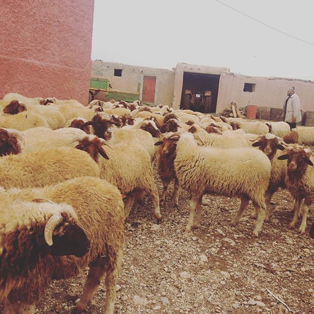 When you step outside to take a call and your host family lets the sheep out to play. #pcmorocco #sheeple #aitlife