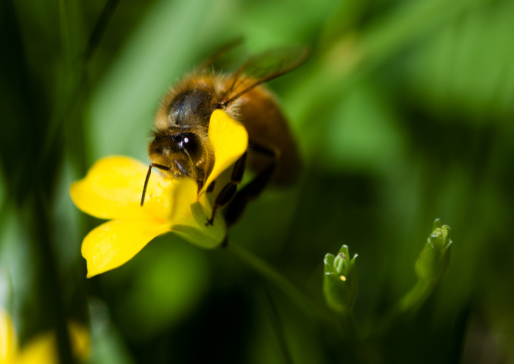Mowing the lawn, came across a bunch of honeybees working on some flowering weeds,