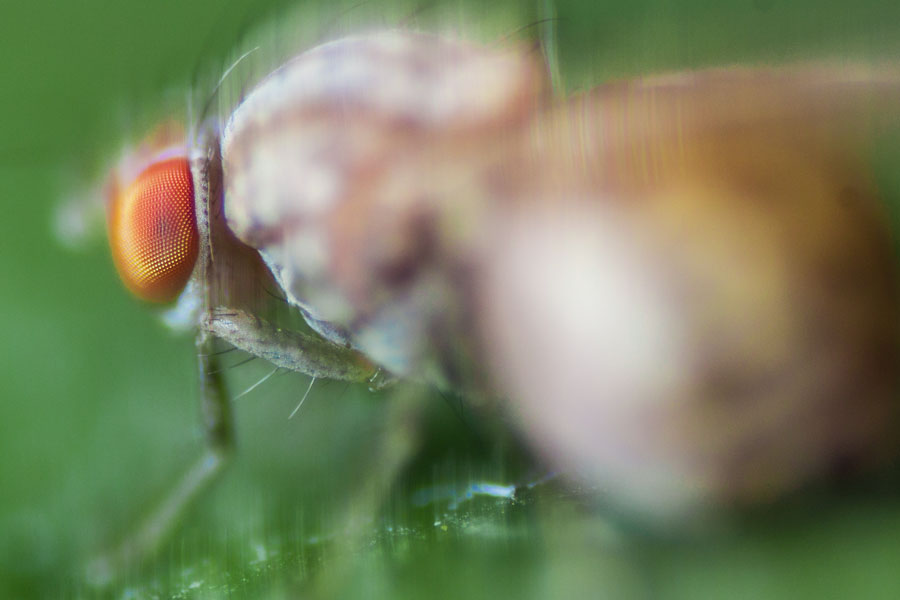 A close up, detailed view of the complex eye of a horse fly.