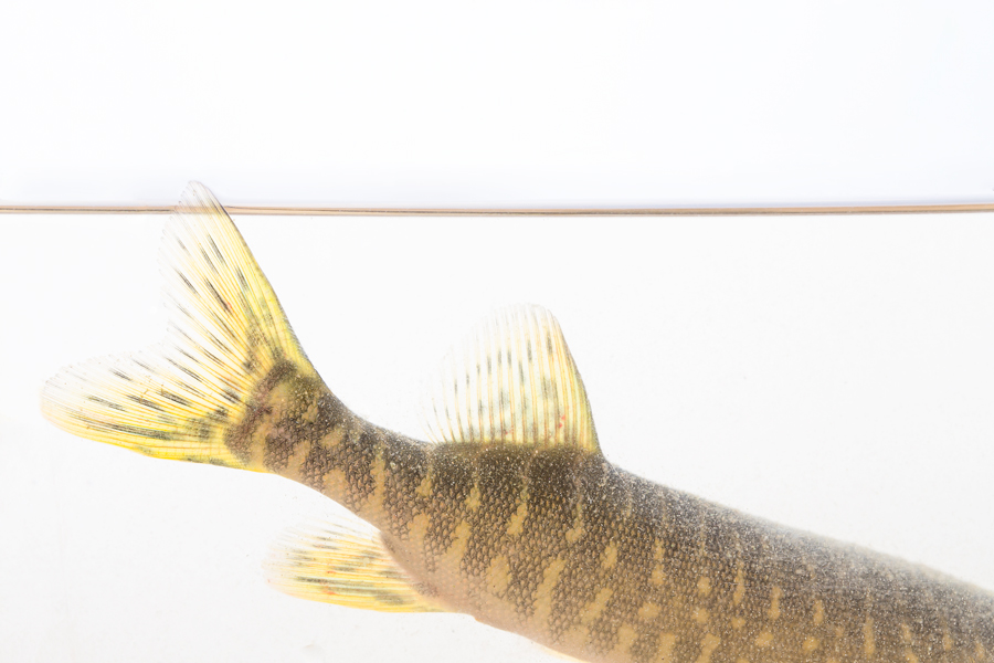 A small grass pickerel's (about 8in.) intricate pattern.