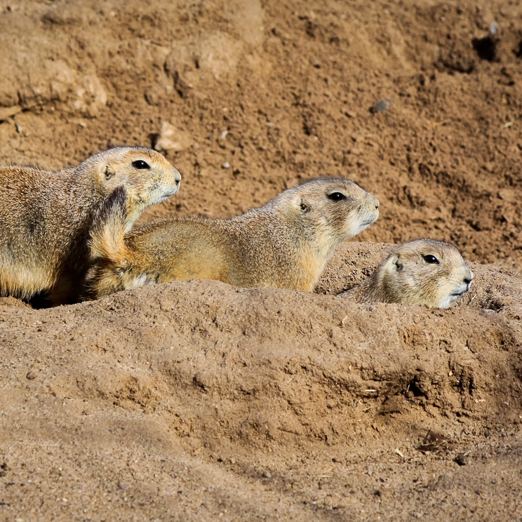 Prairie Dog Plague Vaccine    High Country News--Dec. 16, 2013   Plague threatens western Prairie dog and endangered black-footed ferret  populations. Researchers hope a new plague vaccine could help conservation efforts.
