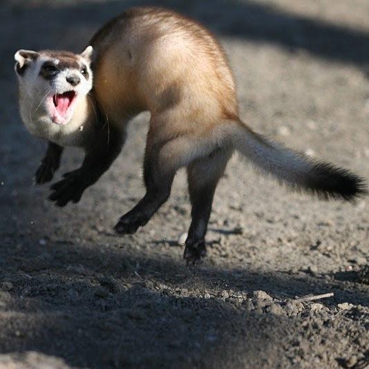 Colorado's Black-footed Ferret Reintroduction    |   High Country News--Nov. 20, 2013   In the fall of 2013, the first black-footed ferrets were reintroduced on private land in Colorado, opening new possibilities for this endangered species' recovery.   Photo  Jumping Black-footed Ferret  by USFWS Mountain-Prairie ,   CC BY 2.0
