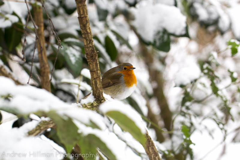Robin in the snow - Reference UK2