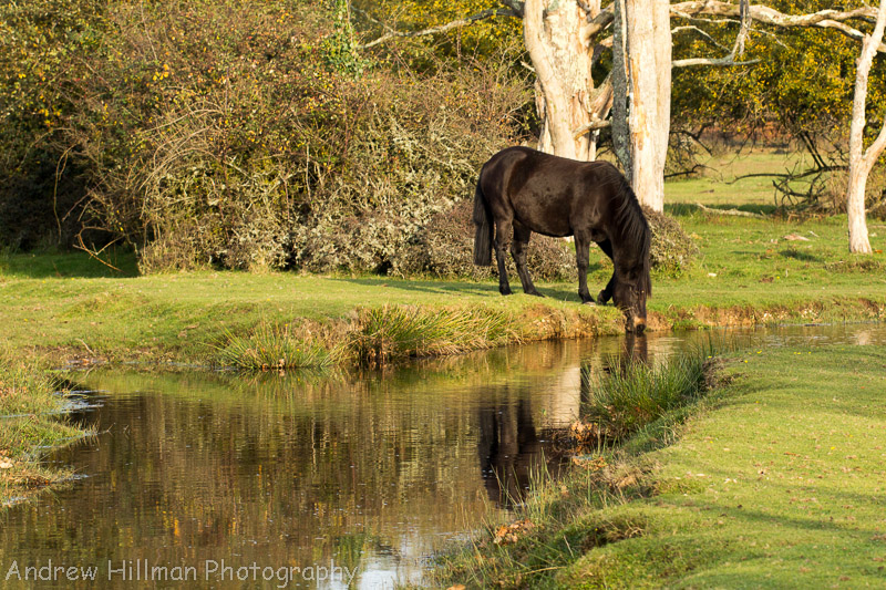 New Forest pony drinking
