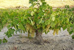Airén vine in Castilla-La Mancha