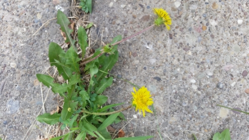 The humble yet amazing dandelion!