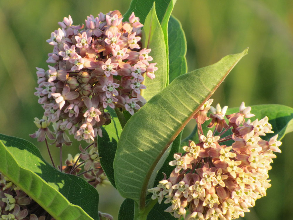 Common Milkweed, By Lmmahood - https://commons.wikimedia.org/w/index.php?curid=12027861