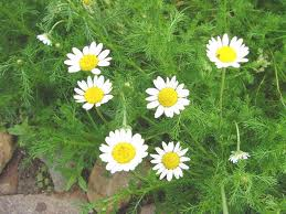 chamomile image.jpg