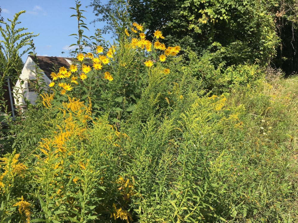 Goldenrod and other bright yellow flowers show up everywhere as summer nears its end.
