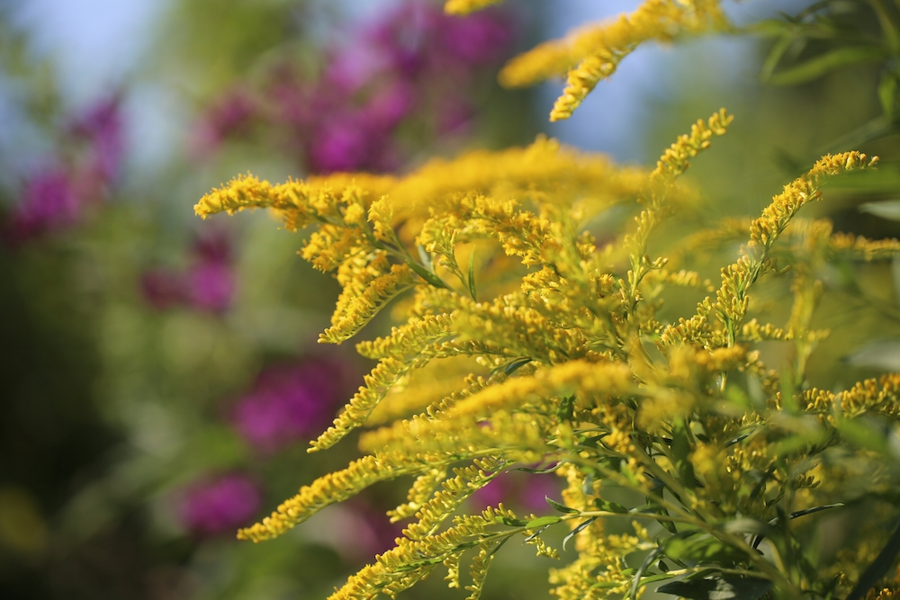 Make sure to identify goldenrod properly.