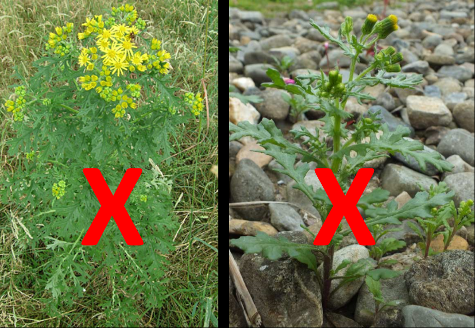 Left to right: Ragweed and groundsel. Do not confuse these with goldenrod. Now's the time to break out your field guides!