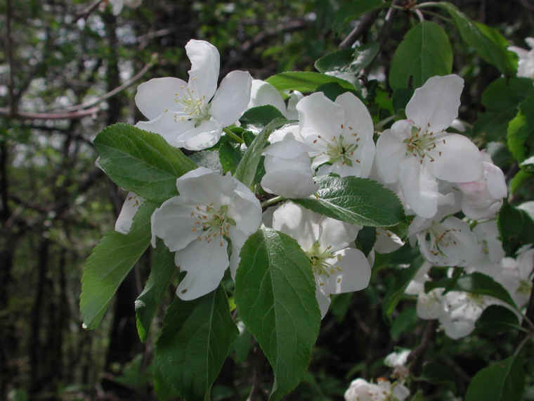 The blossoms of the apple tree offer a clue to its relation to the rose.