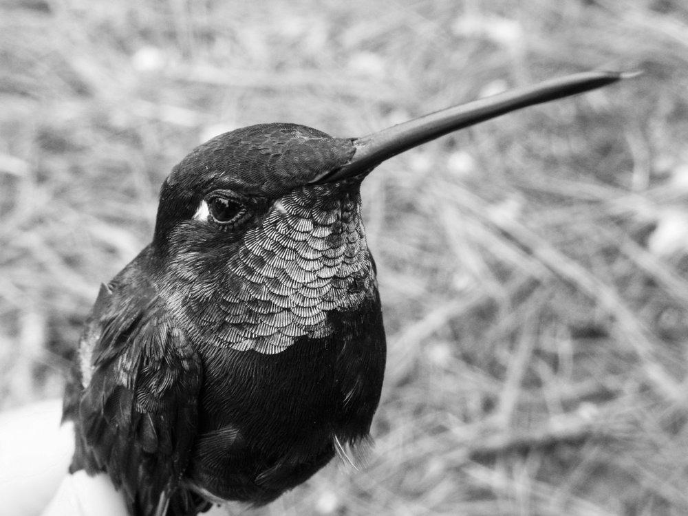 Ts'unun / Colibrí / Hummingbird