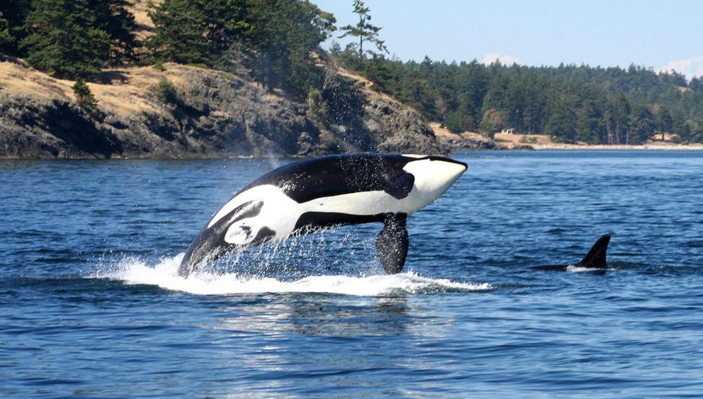 Breaching Orca