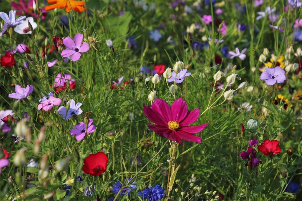 wildflowers-3571119.jpg