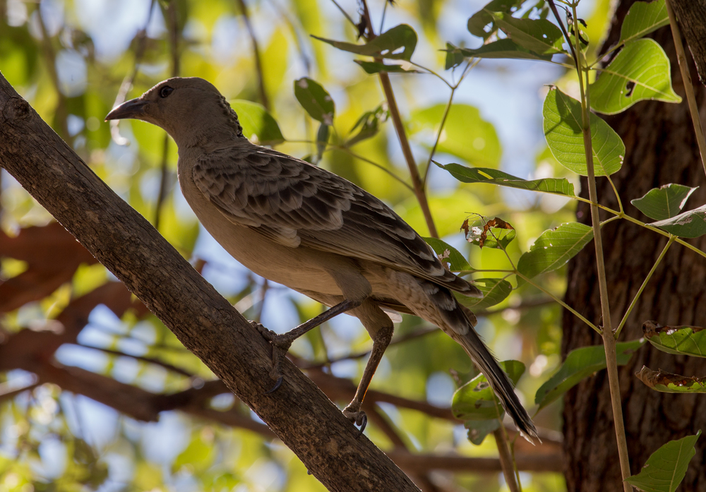 Great Bowerbird - image by Robyn Jay