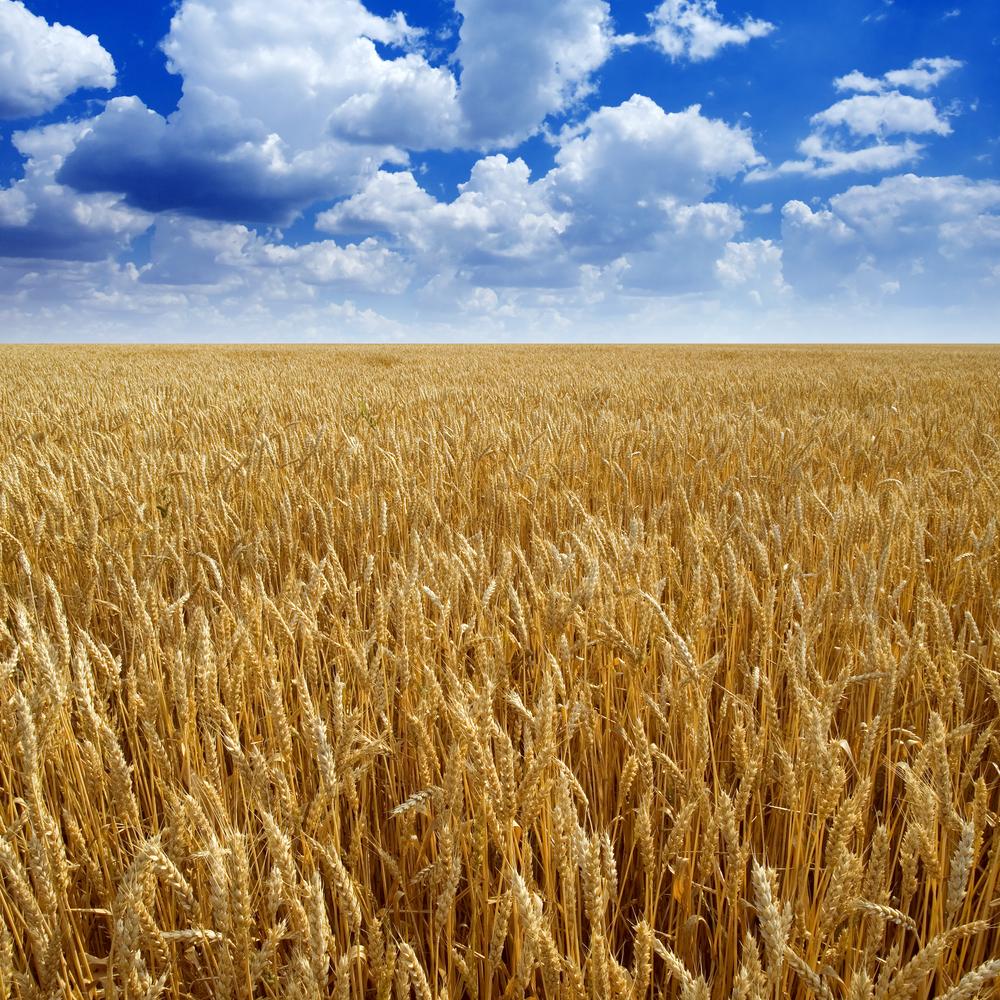 bigstock-Wheaten-field--16725947.jpg