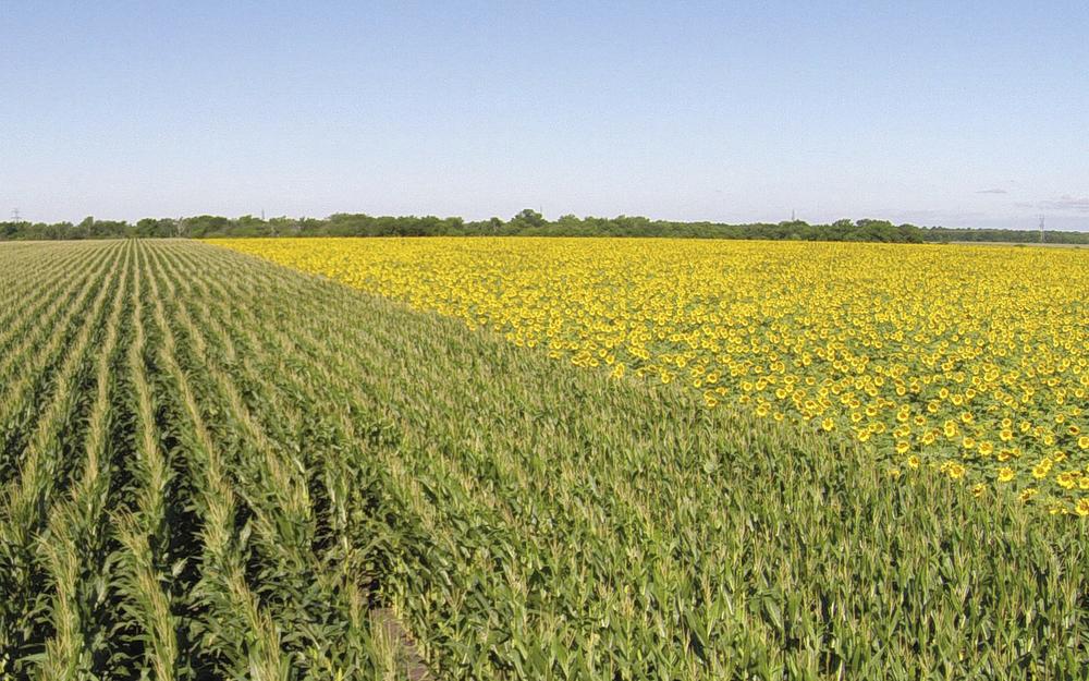 Sunflowers  045 (2).jpg